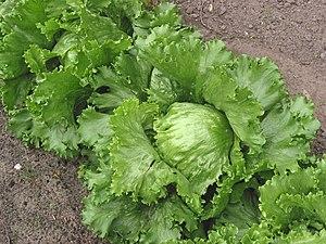 (nl: IJssla krop)Iceberg lettuce