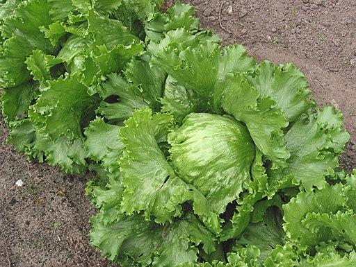 Iceberg lettuce (IJssla krop)