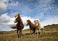 Icelandic Horses!.jpg