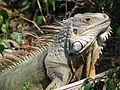 Iguana in Bahia Honda, Florida.jpg