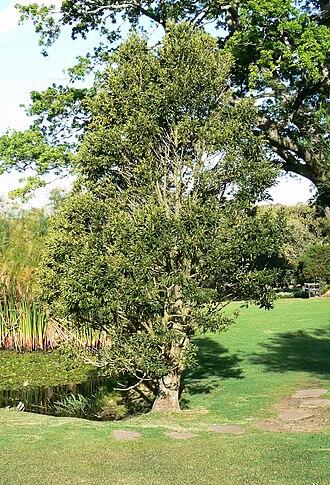 Ilex mitis - Image: Ilex mitis tree Cape Town 3