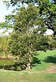 Ilex mitis tree - Cape Town 3.JPG