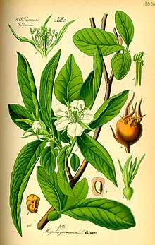 Illustration Mespilus germanica0.jpg