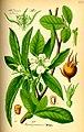 76px-Illustration Mespilus germanica0