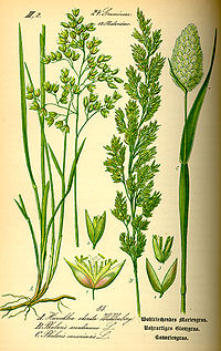 Illustration Phalaris canariensis0.jpg