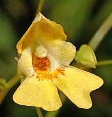 Netýkavka malokvetá - kvet