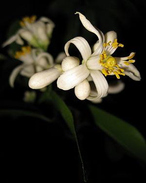 Meyer lemon - Closeup of 'Improved Meyer Lemon' flower