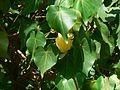 Indian Tulip tree (482861122).jpg
