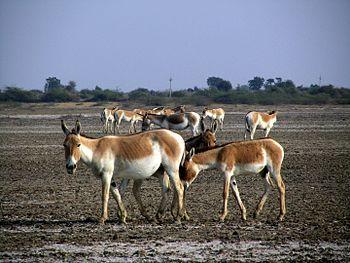 Indian Wild Ass at the Little Rann of Kutch.jpg