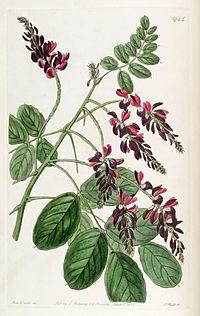 Indigofera atropurpurea Edwards's 21.1744.1836