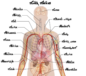 Internal organs - Syriac.PNG