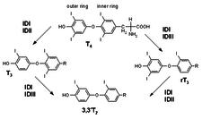 Kolobeh premien tyroxinu, trijodtyroninu a tyreoglobulinu