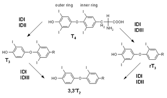 Triiodothyronine - Synthesis of T3 from T4 via deiodination.  Synthesis of Reverse T<sub>3</sub> and T<sub>2</sub> is also shown.