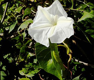 <i>Ipomoea violacea</i> species of plant