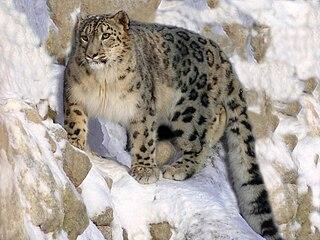Snow leopard Species of large felid (Panthera uncia)