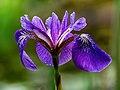 Iris Germanica-20200620-RM-100933.jpg