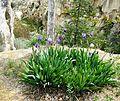 Iris above ravine - Flickr - brewbooks.jpg