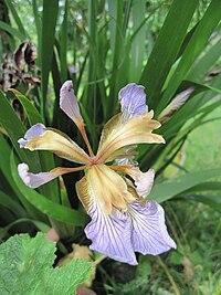 Iris foetidissima-flower-4.jpg