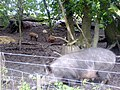 Iron Age pigs - geograph.org.uk - 494559.jpg