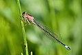 Ischnura elegans 16(loz).jpg