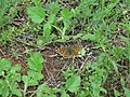Issoria lathonia, Sićevačka klisura.jpg