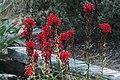 J20170831-0053—Lobelia cardinalis—RPBG—DxO (36880348372).jpg