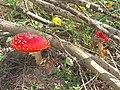 JDX-Amanita muscaria 1.jpg