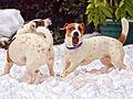 Jack Russell Terriers - Eddi & Lola.jpg