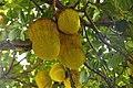 Jack fruit tree 03.jpg