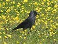 Jackdaw (Corvus monedula) (11).jpg