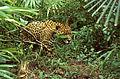 Jaguar (Panthera onca) (21646462824).jpg