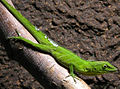 Jamaika-anolis-22 retouched version.jpg