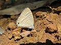 Jamides celeno - Common Cerulean mud puddling at Peravoor (12).jpg