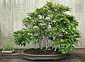 Japanese Beech (Fagus crenata) (3504277201).jpg