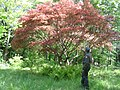 Japanese Maple 063 (Garry).jpg