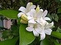 Jasmine flowers 2.jpg