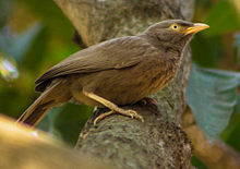 Jungle Babbler in Bangladesh.jpg