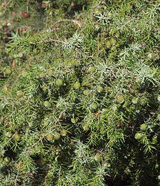 Juniperus oxycedrus 20130810 1.jpg