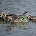 Juvenile Green-winged Teal (5053566155).jpg