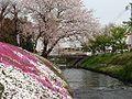 KK-MK23HJ Kanachu I104 Shibuta River Shibazakura.jpg