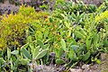 Kaktusblüten auf La Gomera, Spanien (48293715561).jpg
