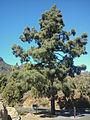 Kanári fenyő (Pinus canariensis) Gran Canaria.jpg