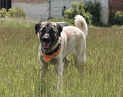 Kangal Dog Best Turkey Dogs