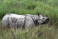 Kaziranga ist das wichtigste Reservat des Panzernashorns