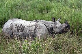 Kaziranga Rhinoceros unicornis.jpg