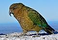 Kea Alpine parrot (19168924003).jpg
