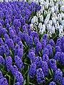 Keukenhof, hyacinths (33129520950).jpg
