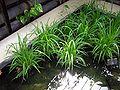 Kew.gardens.rice.arp.jpg