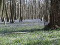King's Wood in Bluebell season 11.JPG