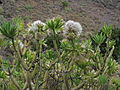 Kleinia neriifolia by Scott Zona - 000.jpg